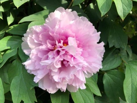 foto di peonia rosa